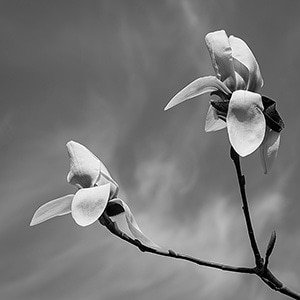 Magnolia-default-BW