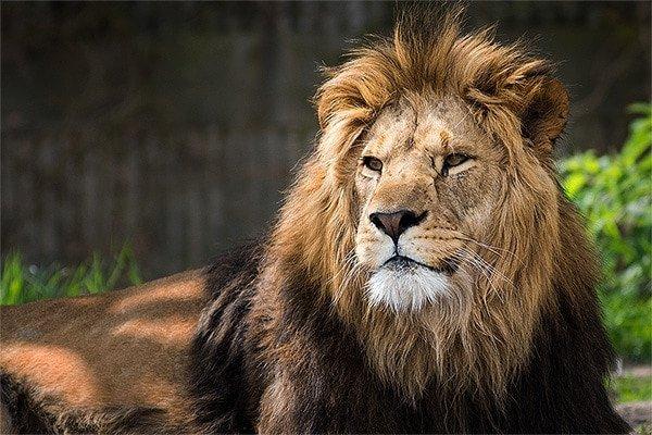 Vignette-Lion-after