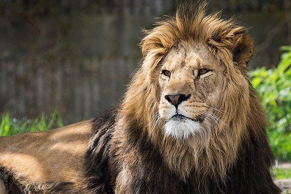 Vignette-Lion-before