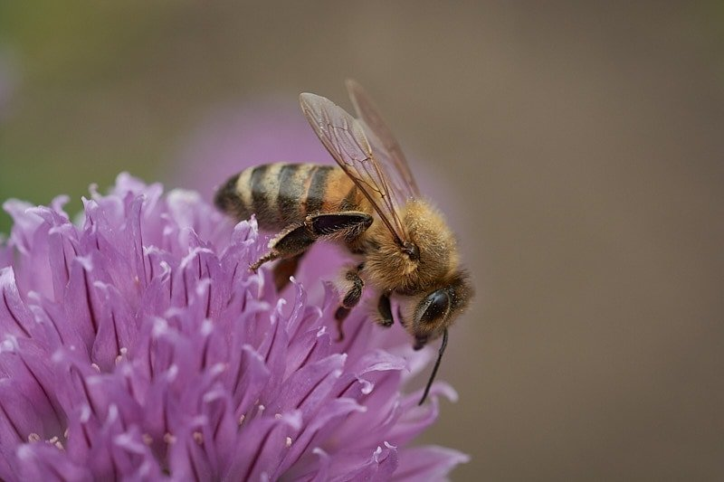 Macro photography - close up of a purple flower and bee.