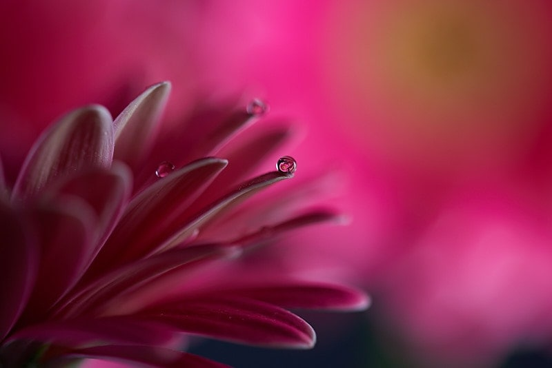 Macro photography - water droplets on pink petals.