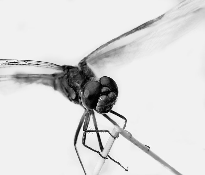 Macro photography - macro shot of insect in black and white.