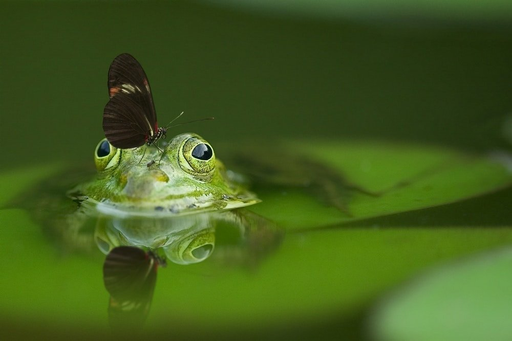 Macro photography - butterfly on frog's head.