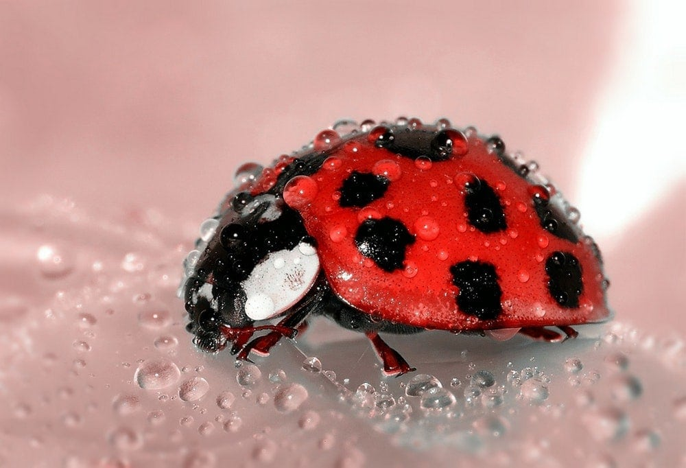 Macro photography - macro shot of ladybird covered in water droplets.