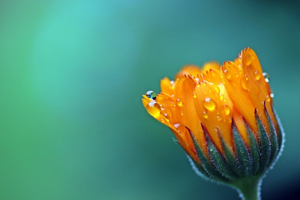 Macro photography - close up of an orange flower with water droplets