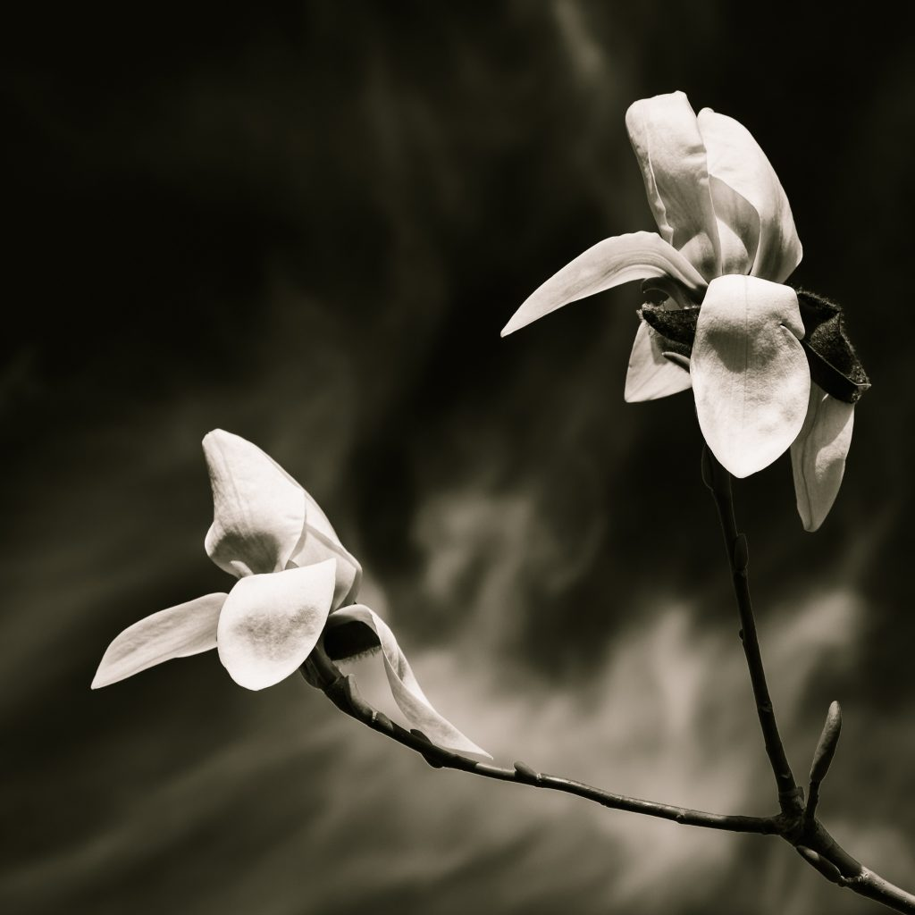 Toning your images a bit can give a nice effect. Here it is used for black and white flower photography
