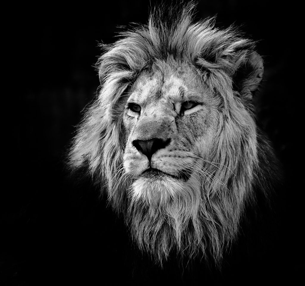 A portrait of a lion converted into a black and white photo