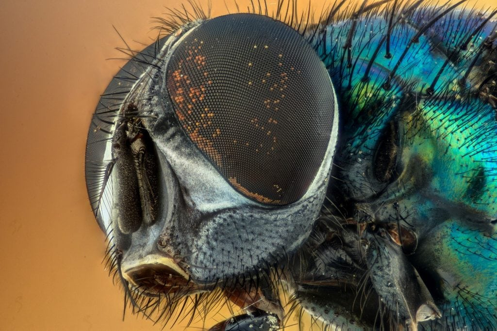 Focus stacked fly eyes; stunning macro photography of insects.